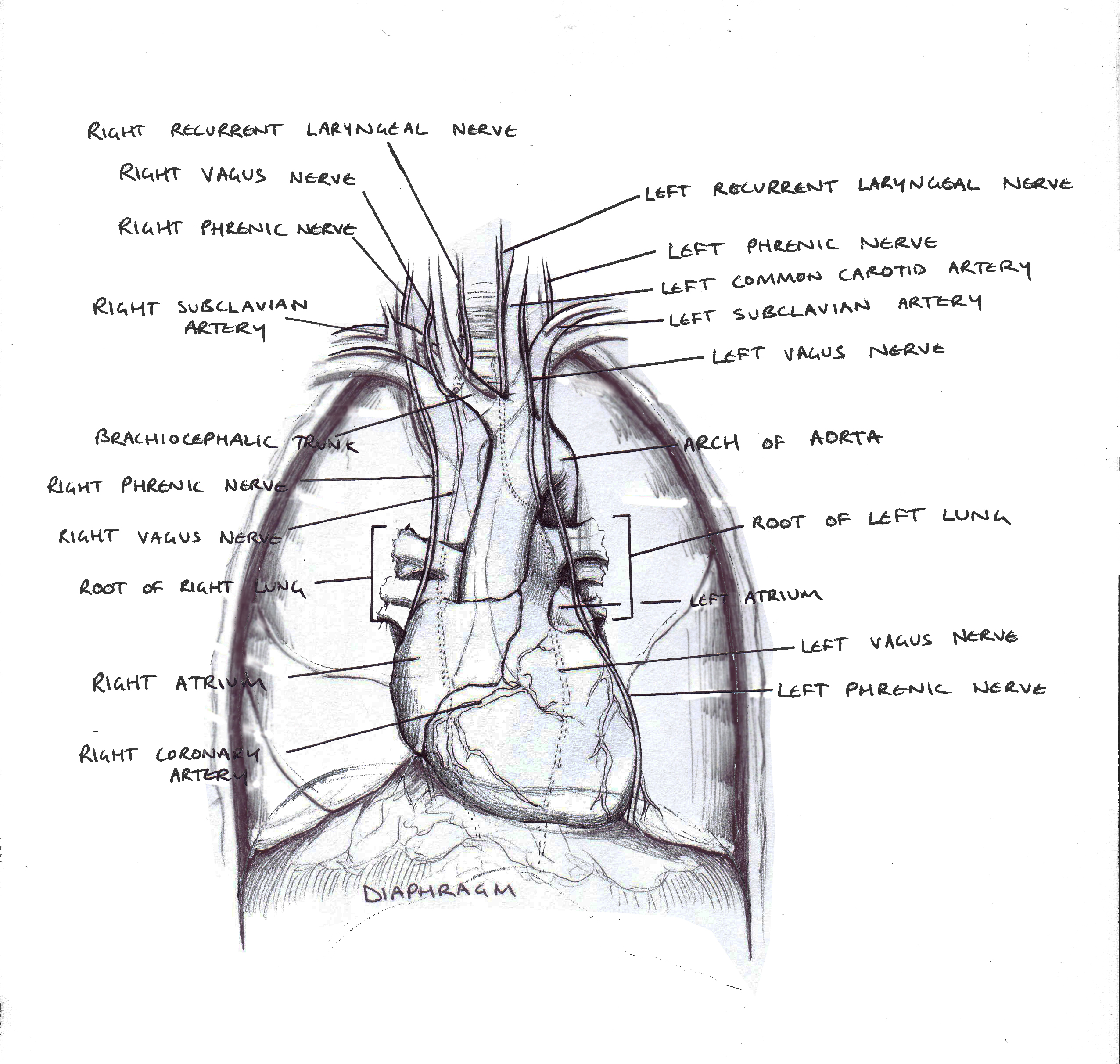 deep thorax sketch  labelled